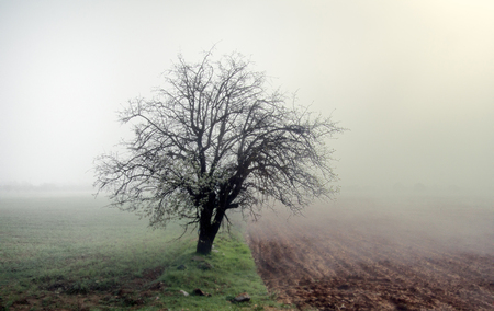 Solitude concept, solitary existence. Lonely apricot tree blooms among fields only half, spring misty morning, blossomed tree, old field boundary Reklamní fotografie