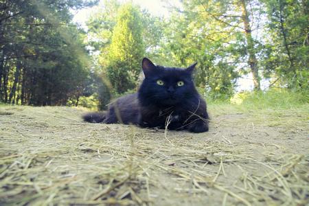 Felinology. Cat breeds. Norwegian Forest Cat black on fores road