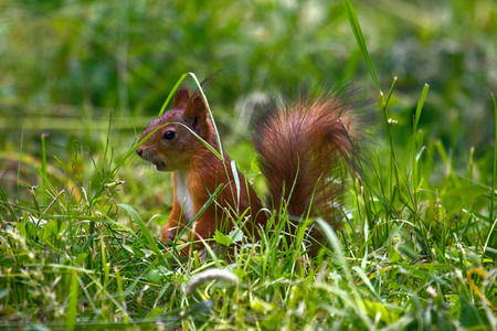 Squirrel on forest lawn, among grass