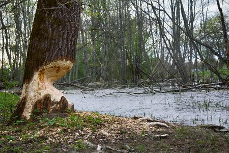 Old Park, centennial Park, springtime. fallen tree, sludge pond. Beavers gnaw old trees Stok Fotoğraf - 96454377
