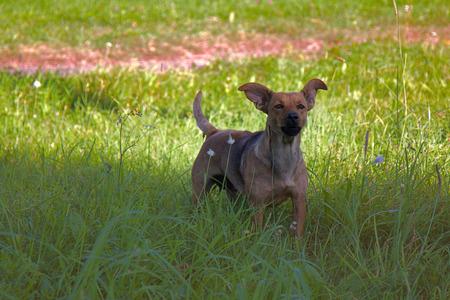 small mongrel dog on walk in meadow. Varied behavior of domestic animals (dogs) Reklamní fotografie