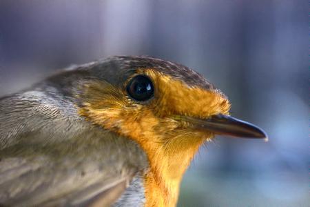 Half-length portrait of the Eurasian robin (Erithacus rubecula), adult bird Stock Photo