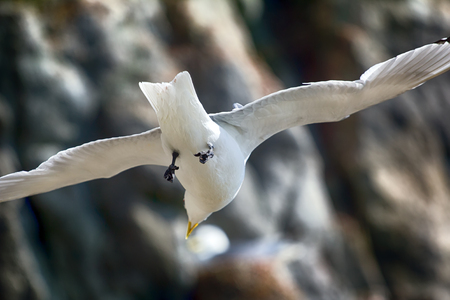 Art of flight, mastery of flight, one way flight. In flow of rising air. Seagull (Rissa tridactyla) trying to stay on place, hangs on spot, plans and struggles with strong upward wind.