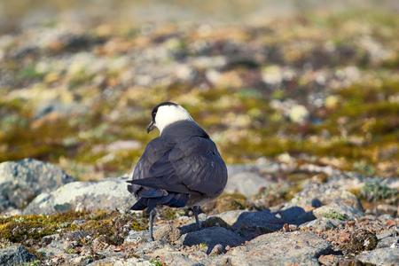 Arctic skua (Stercorarius parasiticus) is real predator and robber for Arctic birds. Adult light morph. Franz Joseph Land