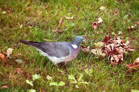 Wood pigeon (Columba palumbus, Palumbus palumbus) feeding on forest glade with oak acorns. Feeding behavior of birds, birds foraging. Loses acorns and restores grove