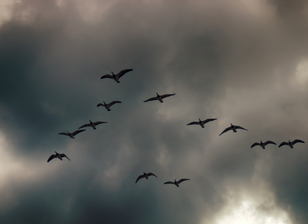 Signs of autumn. Phenology of autumn life. Geese fly South wedge pack (skein) and sad cries, geese bring sadness to heart. Cloudy rainy sky, winter comes