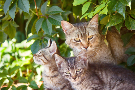 Cat and kittens ordinary breeds, wild paint, stray cats on street (in wild grapes)