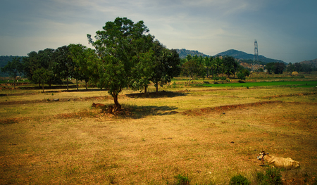 Abandoned rice fields were turned into pasture. As result of overgrazing occurred aridity and soil is disturbed, land degradation. Trees and cattle in fields Stock Photo