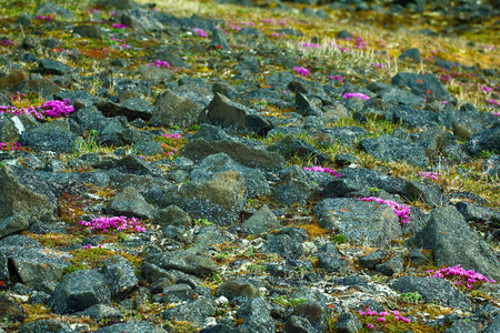 Attractive exotic landscape cold (Arctic) deserts with blooming purple saxifrage (Saxifraga oppositofolia). Understated beauty of the far North, Frantz Josef Land, 81 N.