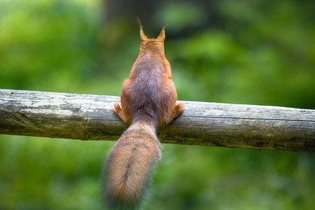 Red Squirrel on dry log. Concept: I dont need anybody, turned away