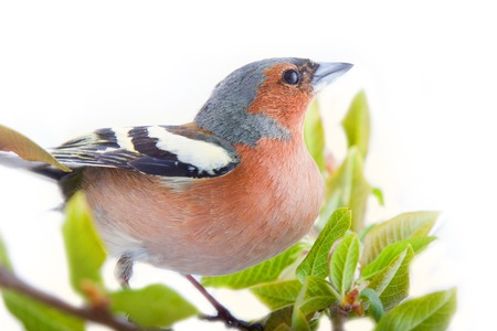 chaffinch (Fringilla coelebs) most common bird of Europe, forest bird, finches, thick beak, granivorous birds - male in bright breeding plumage on white background Stock Photo