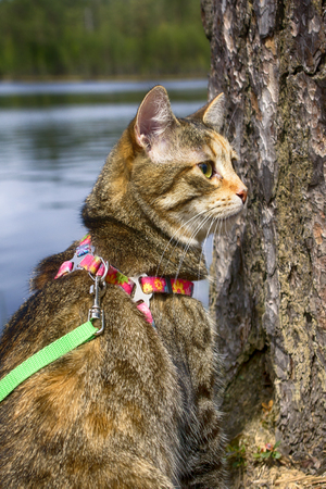 Pet cat for walk in wild. Leash and harness for cats, Amid the rivers and forests