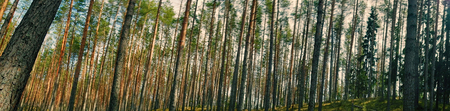 Transparent old pine forest filled with sun and healing scent of resin. best therapy for respiratory system - health, healthy lifestyle, healthy life, beautiful ride, walk in woods Reklamní fotografie