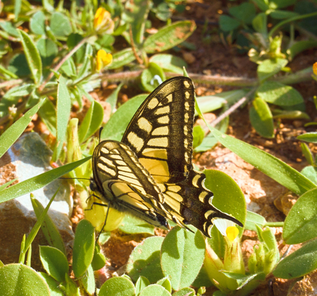 Swallowtail Papilio machaon - one of rare but widespread butterflies from southern steppes to tundra. Assimilative coloration. Machaon son of Asclepius, famous physician