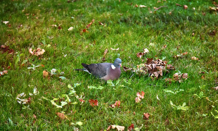 Wood pigeon (Columba palumbus, Palumbus palumbus) feeding on forest glade with oak acorns. Feeding behavior of birds, birds foraging. Loses acorns and restores grove