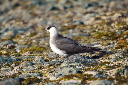 Arctic skua (Richardsons skua, parasitic jaeger, Stercorarius parasiticus) is real predator and robber for Arctic birds, virtuoso kleptoparasite. Adult light morph. Franz Joseph Land Stock Photo