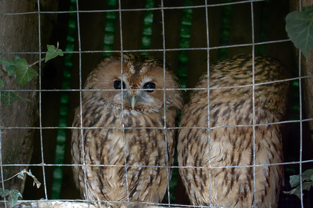 Animals in captivity. Pair of owls (Scops owl) in small private zoo, Freedom birds, bird in cage - animal protection; wildlife protection Stock Photo