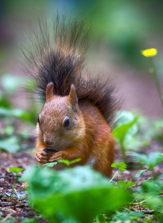 care of animals and to feed them in hungry times. Red squirrel picks up seeds on path in Park.