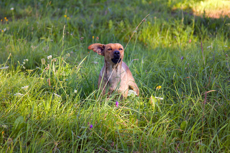 small mongrel dog on walk in meadow. Varied behavior of domestic animals (dogs) Standard-Bild