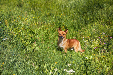 small mongrel dog on walk in meadow. Varied behavior of domestic animals (dogs) Stock Photo