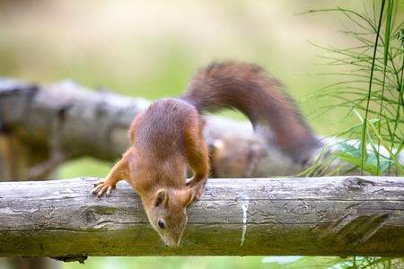 Red Squirrel in dry tree just interested in something on ground Stock Photo