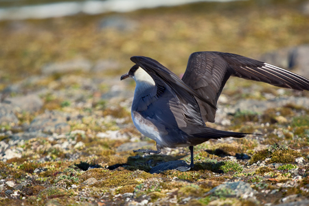 Arctic skua (Richardsons skua, parasitic jaeger, Stercorarius parasiticus) is real predator and robber for Arctic birds, virtuoso kleptoparasite. Adult light morph. Franz Joseph Land 스톡 콘텐츠