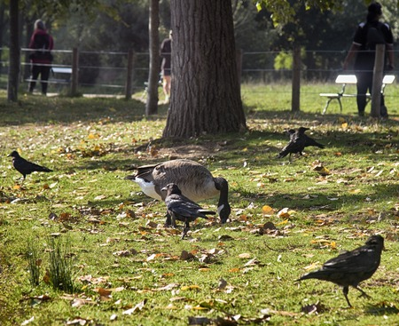 Migrating and wintering Canadian geese (Branta canadensis) on lawns and ponds of European cities and black crows. Synantropization wild birds because of lack of hunting and persecution