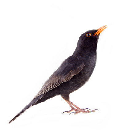Blackbird (Turdus merula, male) is one of best singers and one of main objects of hunting in France, Italy, Spain, Greece. Le ballet de la Merlaison. Side view. Isolated on white background
