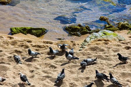 flock of pigeons on beach, fed emissions surf, Mediterranean 스톡 콘텐츠