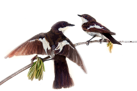 Two pretty birds on beautiful spring twig. White background, more photos in style of Japanese painting, a la Kitagawa Utamaro animalism section, nonplanimetric technician. Love games. Pied flycatchers Stock Photo