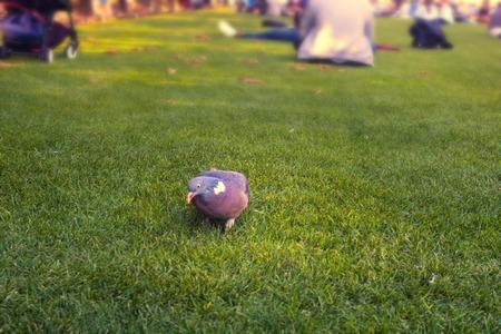 Wood pigeons (Columba palumbus, Palumbus palumbus) feeding on park glade next to man. Synanthropic birds