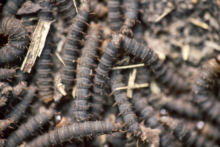 A lot of swarming worms in ground. Grave worms, death worm (And they shall lie down alike in the dust, and the worms shall cover them. Bible). Larvae, caterpillars of insects, saprobiont, necrophage 写真素材