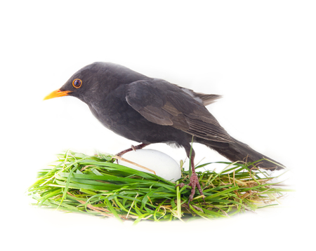 Male Blackbird in artificial nest with disproportionately large white egg. Photos-joke - confusion of men when you first look at offspring. ?oncept of fatherhood, young parents build nest, procreation 写真素材