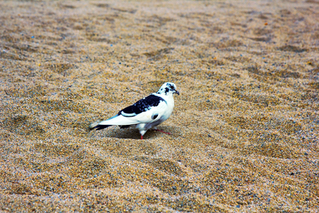 Speckled pigeon collects food on beach with colored sand. Breeds of pigeons and hybrids, motley bird