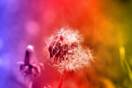 Dandelion with clusters of ripe seeds, fertile dandelion. Summer story on bright two-color background