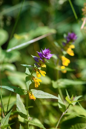blue cowwheat (Melampyrum nemorosum), pansy - flower incest sisters and brothers, consanguineous marriage, nectariferous 免版税图像
