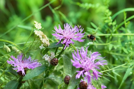 brown knapweed (Centaurea jacea) and stone bumblebee (Bombus lapidarius) flying over flower on edge of mixed forest Stock Photo