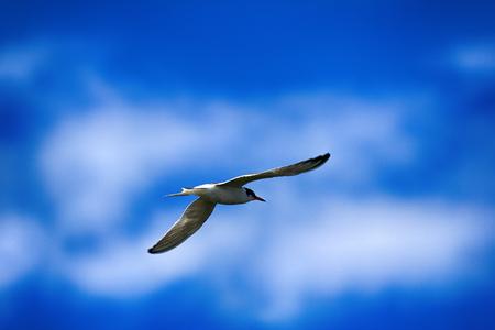 Young river tern (Common Tern, scray, Sterna hirundo) flying, hangs in place like white butterfly. Beauty of flight of birds