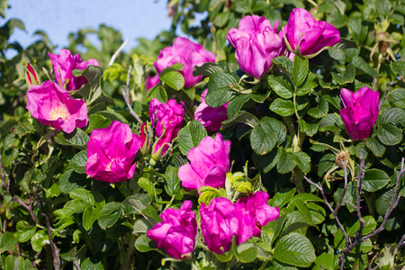 Wild rose, ramanas rose (Rosa rugosa rubra) blooms and fills air with fragrance all summer long