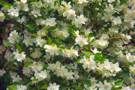 Syringa, Philadelphus - is luxurious virgin fragrant flower of beginning of summer, snow-white flower - Jasmin - wedding wreath. Summer lush flowers blossoming Imagens