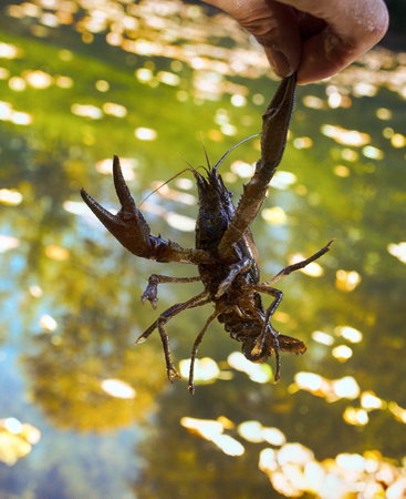 Narrow-clawed crayfish (Astacus leptodactylus) in South of France in slowly current river habitats (autumn). Crayfish resistant to water pollution. On background of river in hand of man Stock Photo