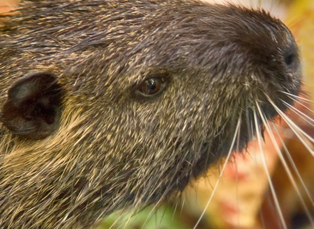 Nutria on banks of canal, search for food. Wild nutria inhabit ponds and rivers (reservoirs with low-flow or stagnant water) of Europe, Close-up portrait. France