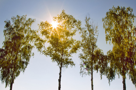 Weeping birch (Betula alba pendula) against the sun. Lonely birches in field in springtime, edge of spring field, winter cereals. Green foliage sound spring. Forest of small-leaved deciduous species