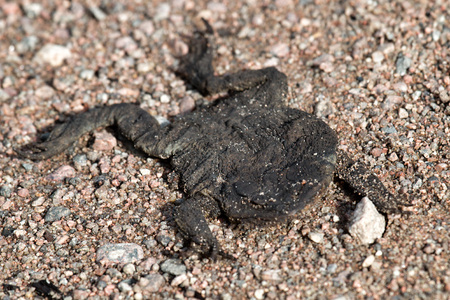 Crushed by car and dried toad. Car as reason for death of myriads of animals every day around the world Stock Photo