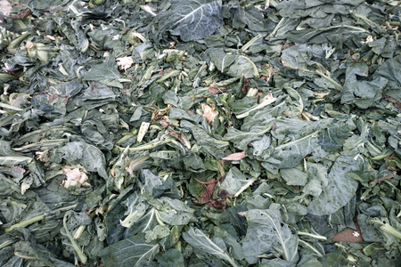 Vegetables and fruits in Indian Bazaar. cabbage leaves, cabbage (Brassica); kale; rape - camera in leaves of vegetable