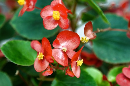 Busy Lizzie, red shiny flowers. Impatiens. Balsamináceae. Houseplants; indoor plants, potted flowers, floriculture 免版税图像 - 106556311