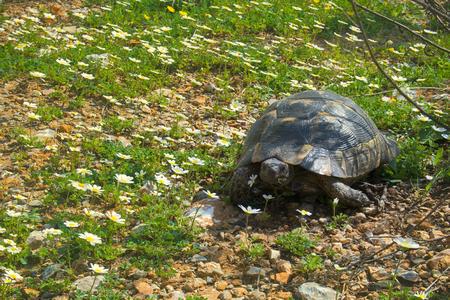 Terricole Mediterranean turtle (spur-thighed tortoise, Testudo graeca iberica) in daisies. Turkey, Marmaris, Taurus mountains