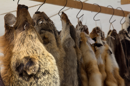 Skins (trapping) of bears, wild boars, foxes, wolves and other fur-bearing mammal at Russian fair. - Field of activity of opponents of use of fur - PETA (People for the Ethical Treatment of Animals) Foto de archivo - 106509691