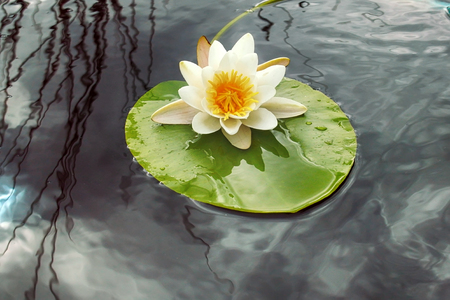 European white waterlily; white waterlily (Nymphaea alba) in summer pond