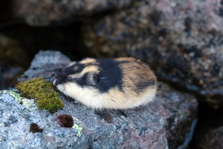 Norwegian lemming (Lemmus lemmus) hiding among the rocks in the mountain tundra. lives in the tundra in the North of Scandinavia and the Kola Peninsula